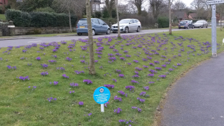 Polio Crocuses in bloom