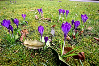 Crocus march 2018